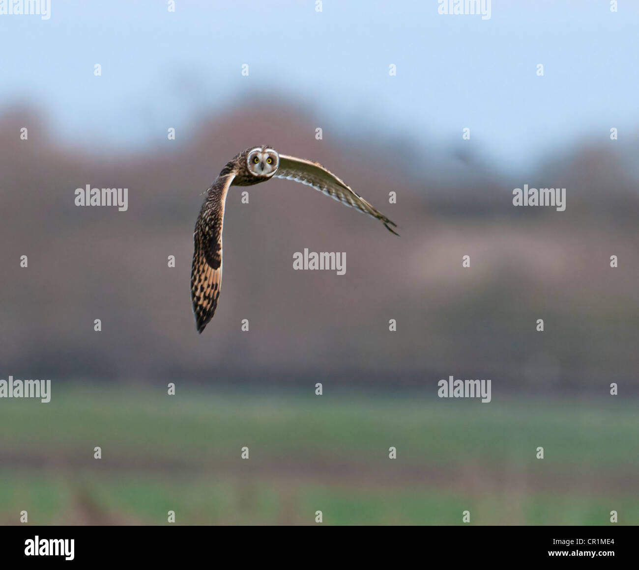 SHORT-EARED Eule Asio Flammeus IN Flug Jagd für Nahrung Stockfoto