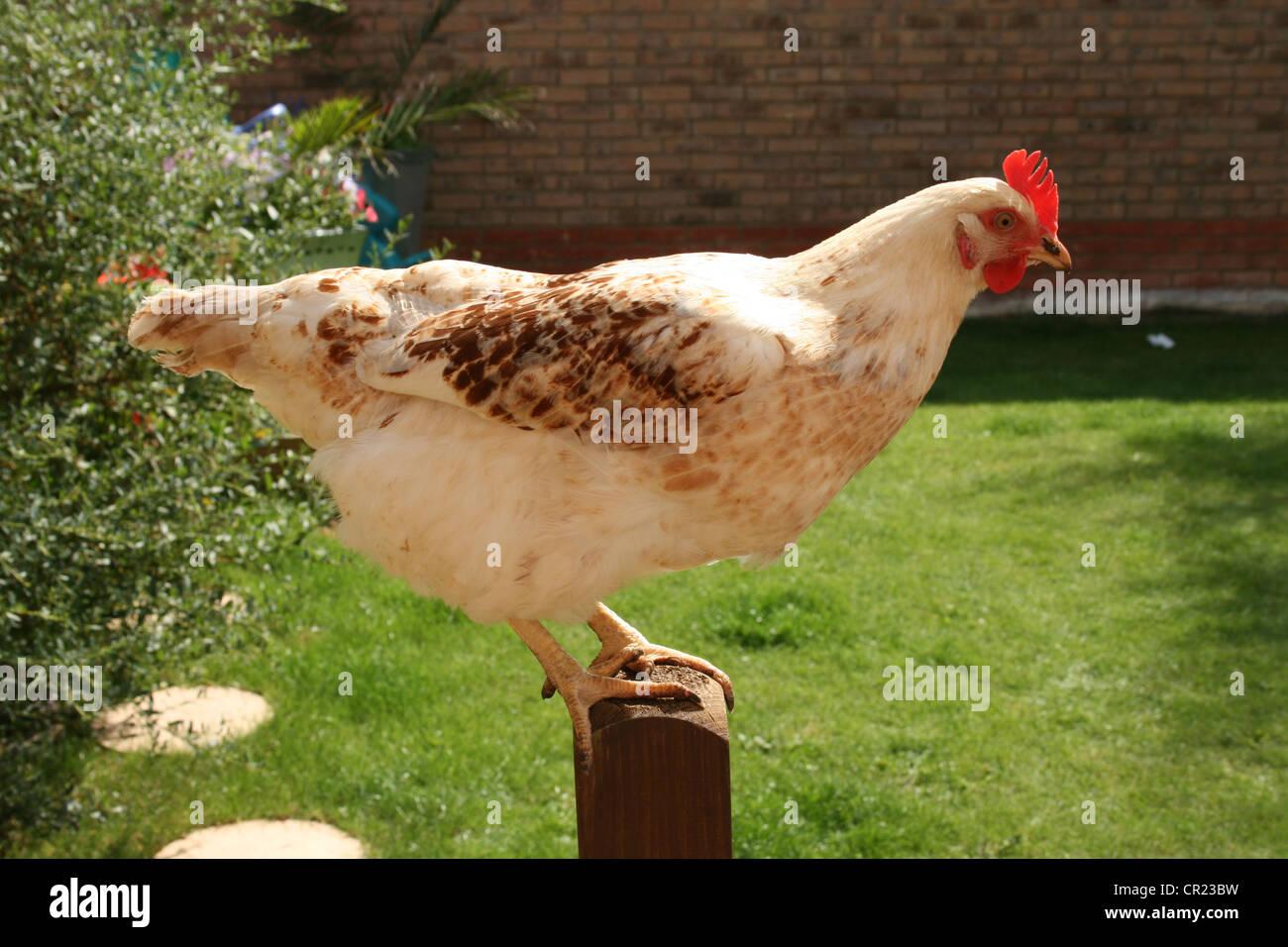 Weiße Sussex Hybrid Huhn Stockbild