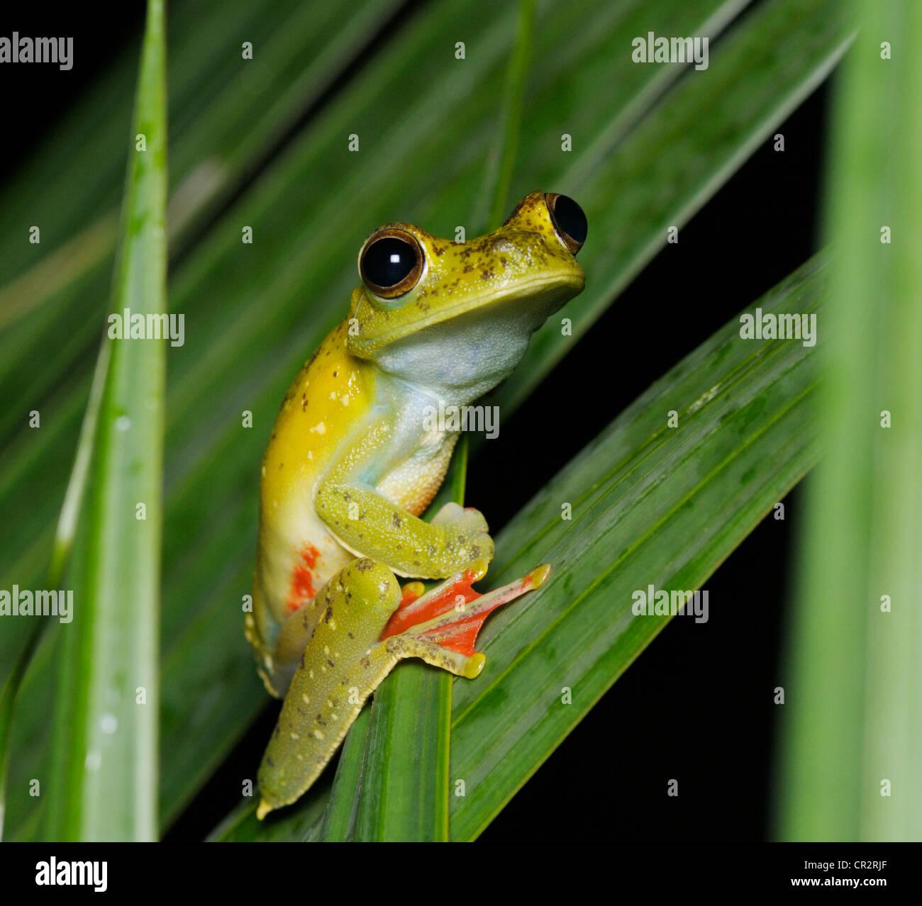 Roten Schwimmhäuten Treefrog, Hypsiboas Rufitelus, Nationalpark Tortuguero, Costa Rica Stockbild