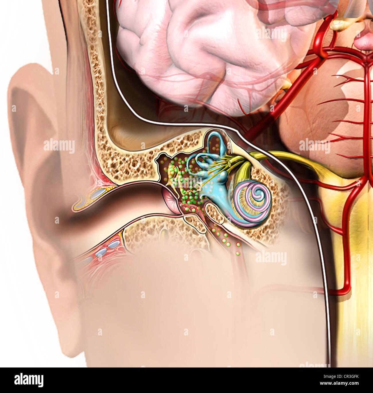 Koronale Ohr und Gehirn Anatomie mit bakteriellen Kolonie im ...