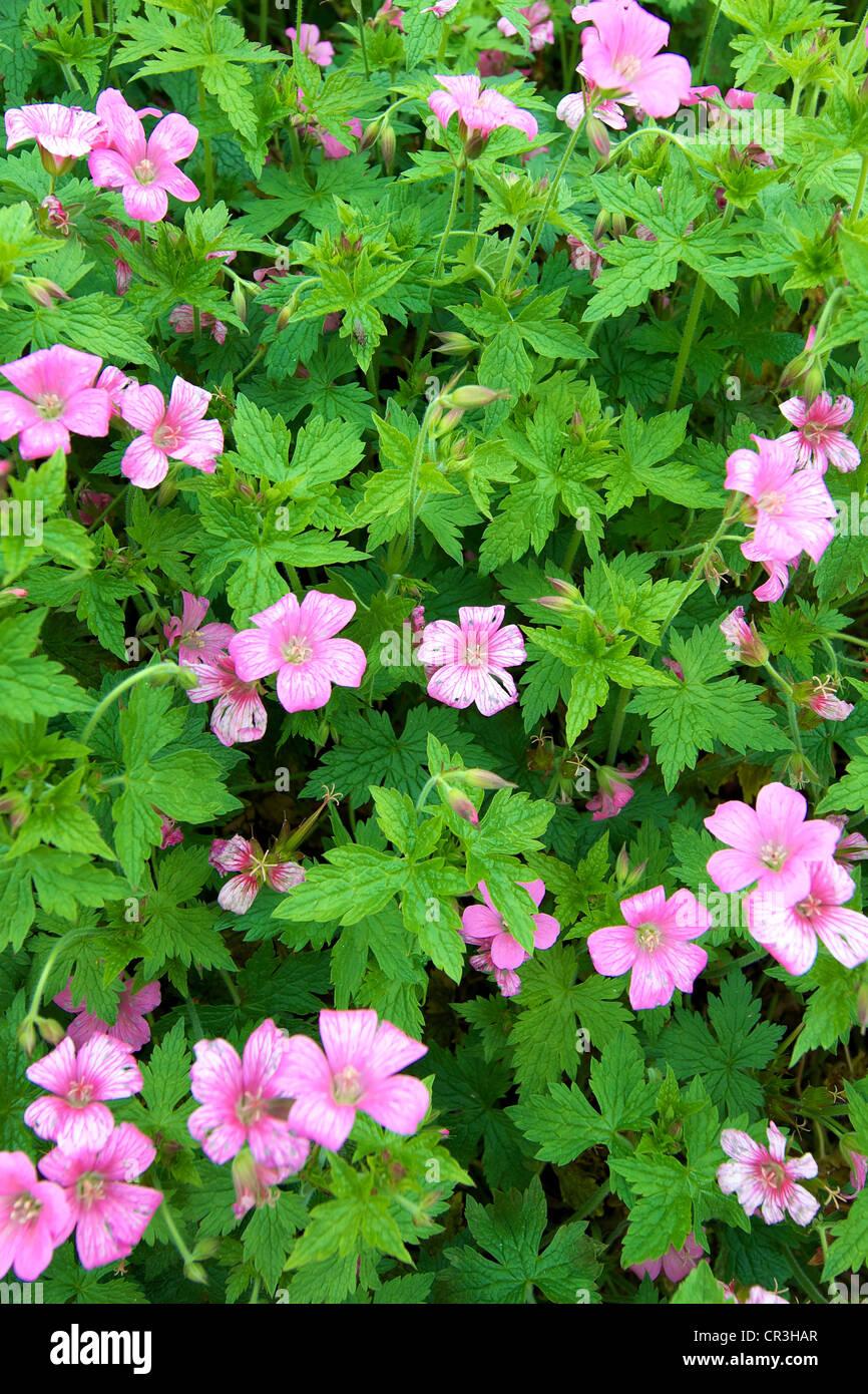Nahaufnahme Von Geranium X Oxonianum Wargrave Pink Blumen Im Juni