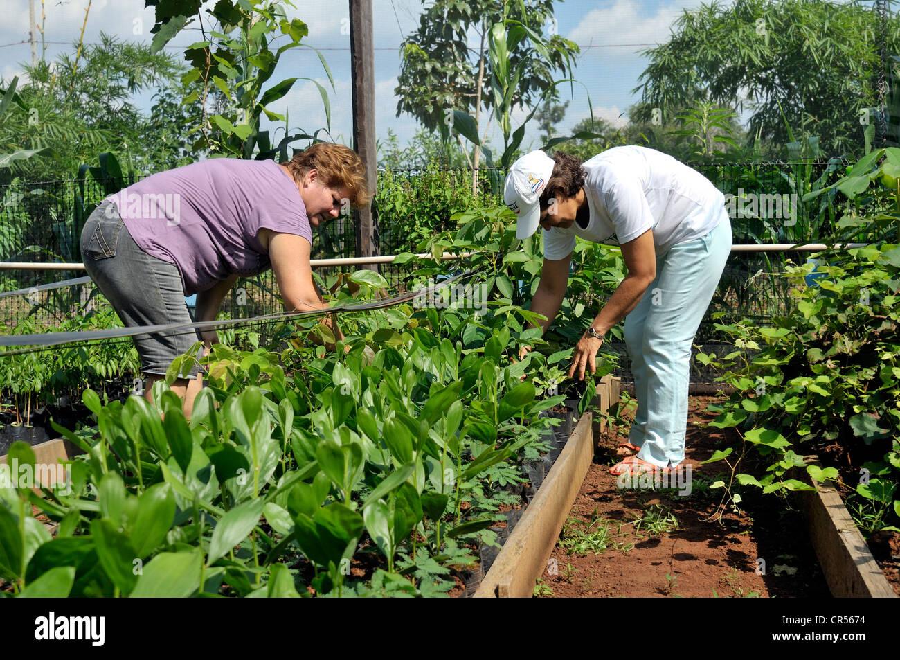 Landfrauen pflegen Setzlinge für die Wiederaufforstung von gerodeten Flächen im Amazonas-Regenwald, Baumschule Stockbild