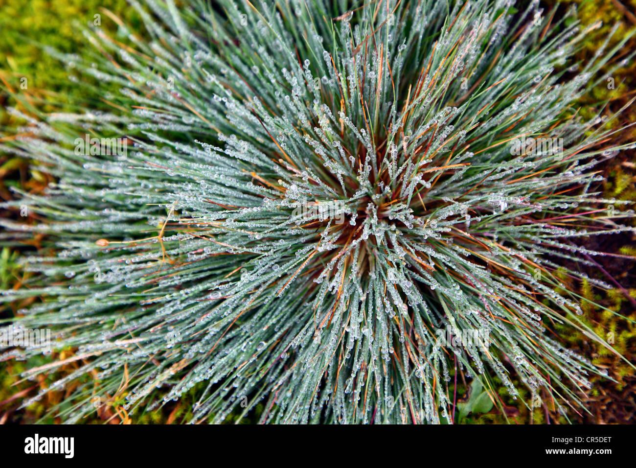 Regentropfen auf Düne grass, Spiekeroog, Niedersachsen, Deutschland, Europa. Stockbild