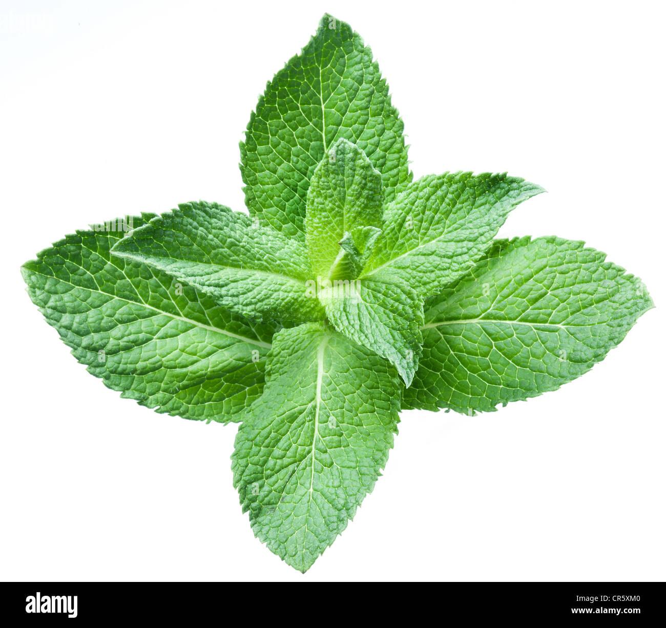 Blätter der Minze auf einem weißen Hintergrund Stockbild
