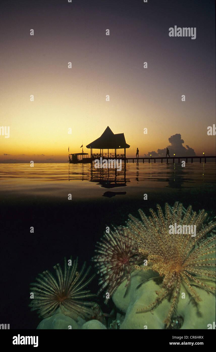 Sonnenuntergang, halb-halb Schuss, Featherstar (Dichrometra Flagellata), das Korallenriff, Ari Atoll, Mirihi, Malediven, Stockbild