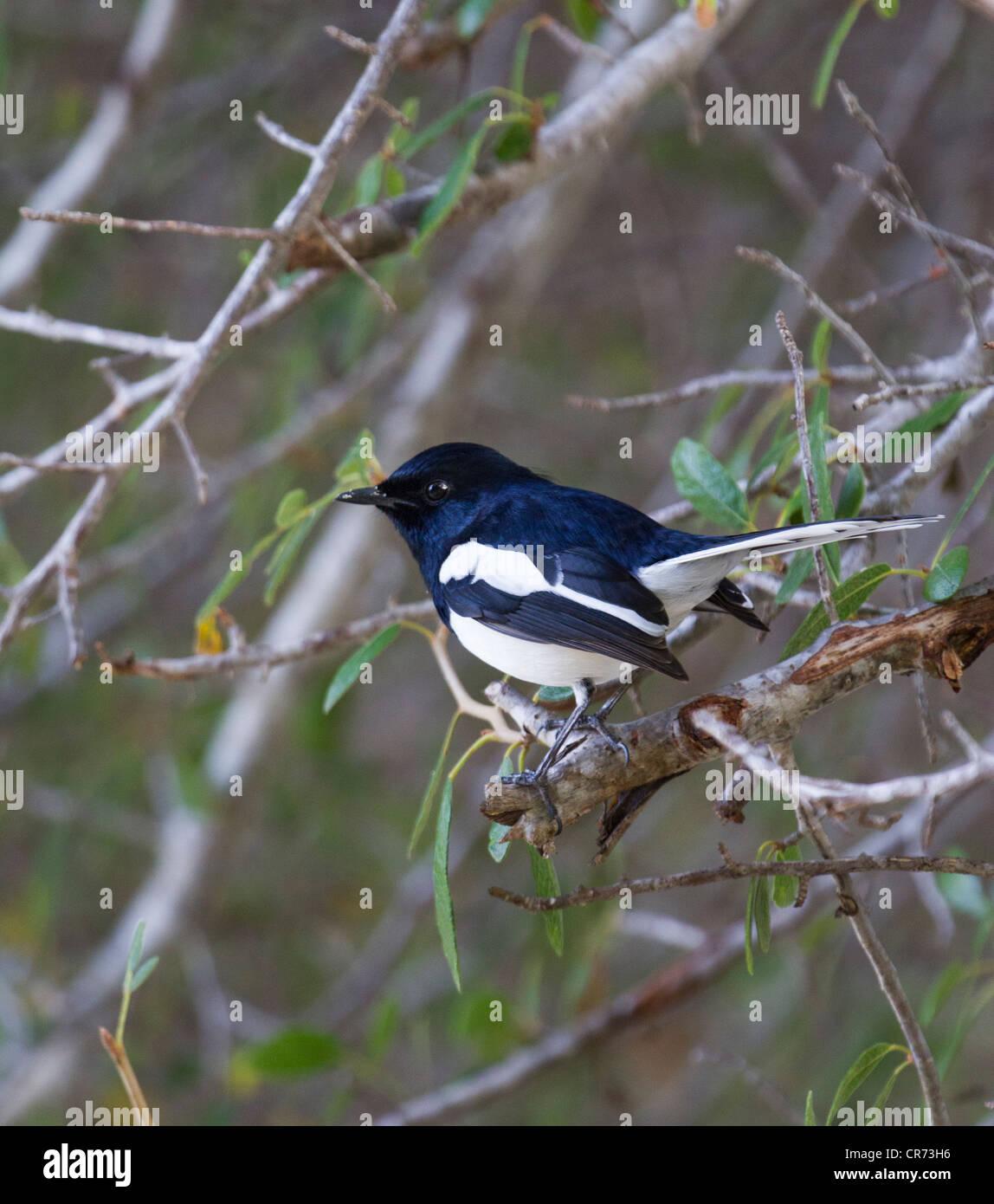 Elster, Ifaty, Madagaskar Stockbild
