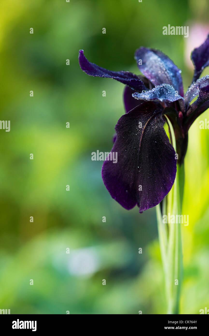 "Iris Chrysographes ""schwarze Form"". Schwarze Iris (Iris Goldvein) in einem Garten Stockbild"