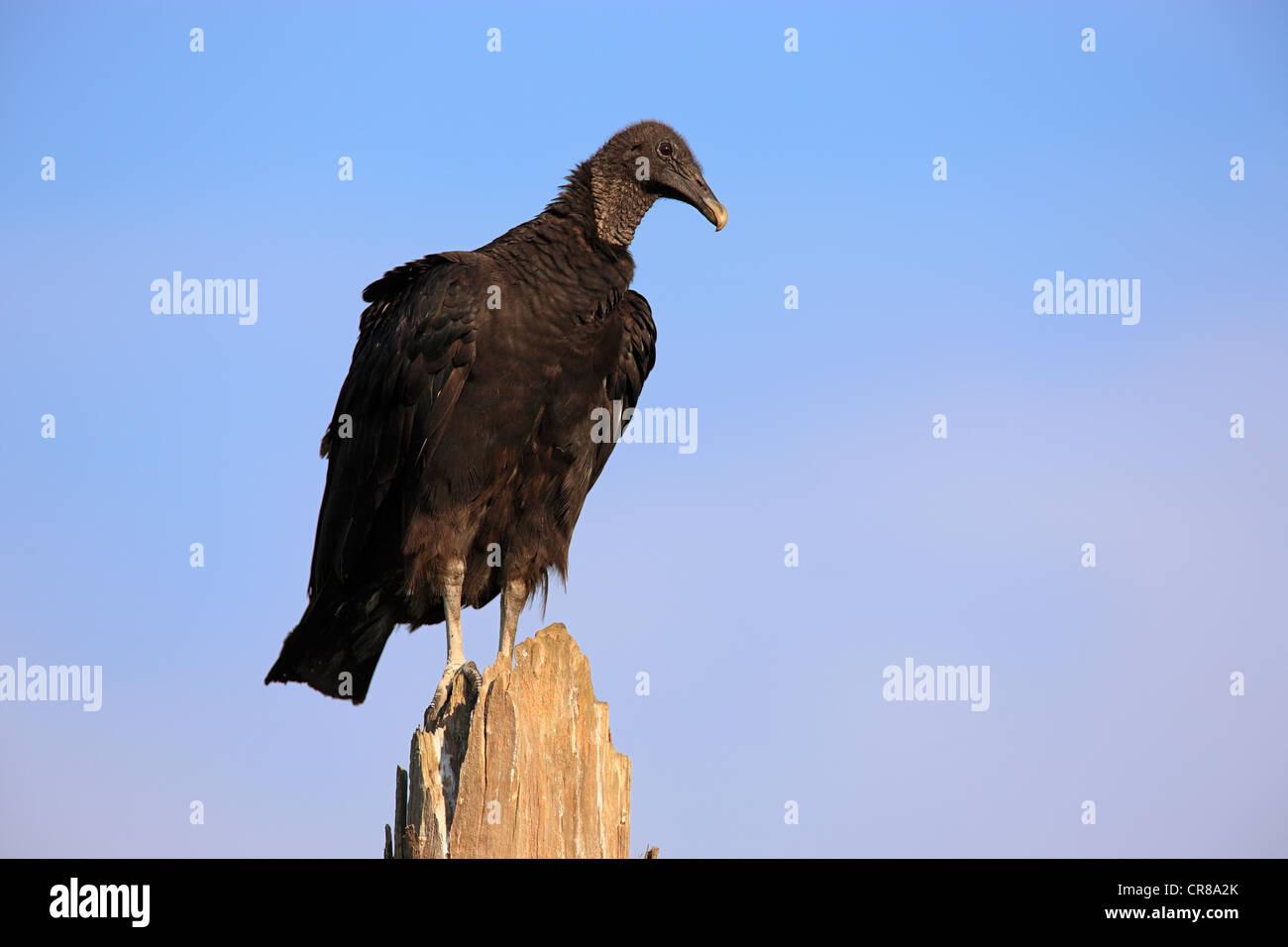 Schwarzer Geier (Coragyps Atratus), Erwachsene thront, Florida, USA, Amerika Stockbild