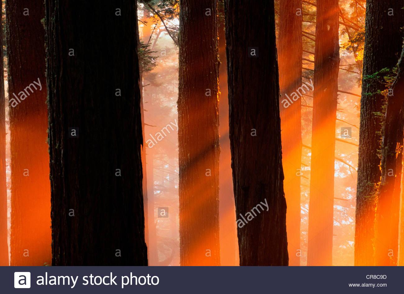 Untergehende Sonne und Nebel in einen alten Wald. Stockbild