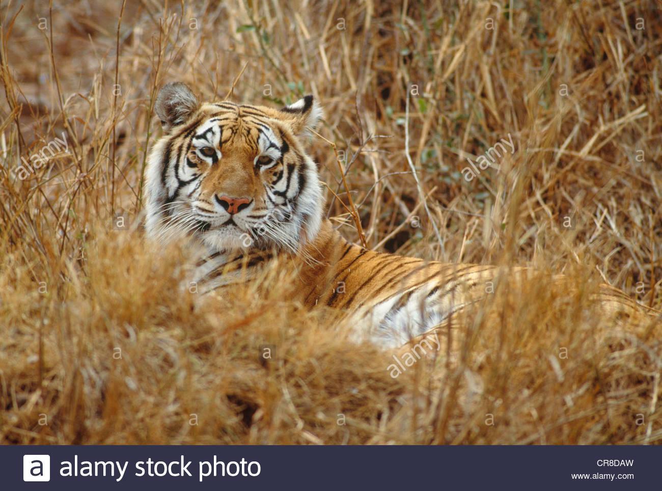 Bengal Tiger ruhen auf hohen Trockenrasen, Indien Stockbild
