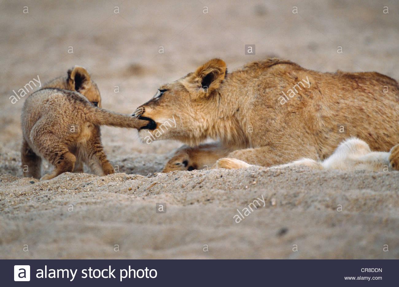 Eine zweite Jahr African Lion Cub beißt spielerisch einen ersten Jahr Jungtiere Schweif, Krüger Nationalpark, Stockbild