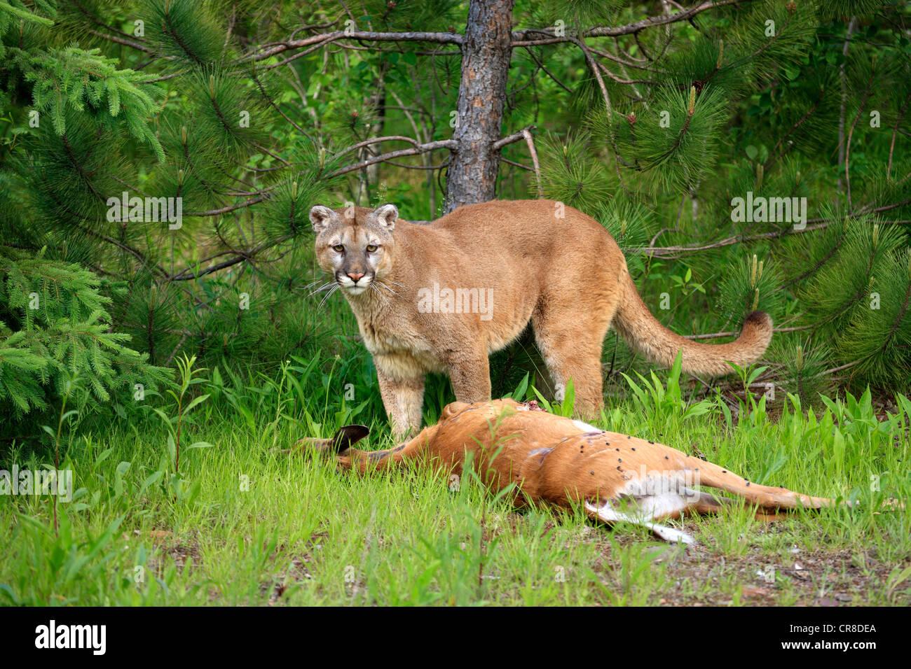 Cougar für Erwachsene