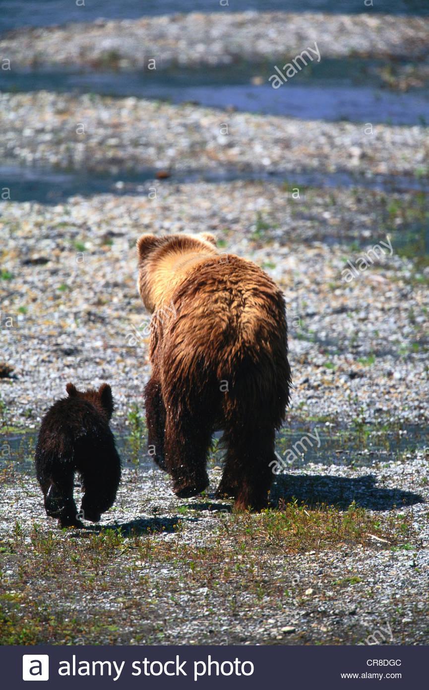 Braunbär und cub Stockbild