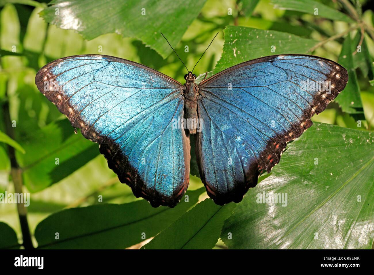 Anaxibia oder Morpho Schmetterling (Morpho Anaxibia), Imago, Südamerika Stockbild