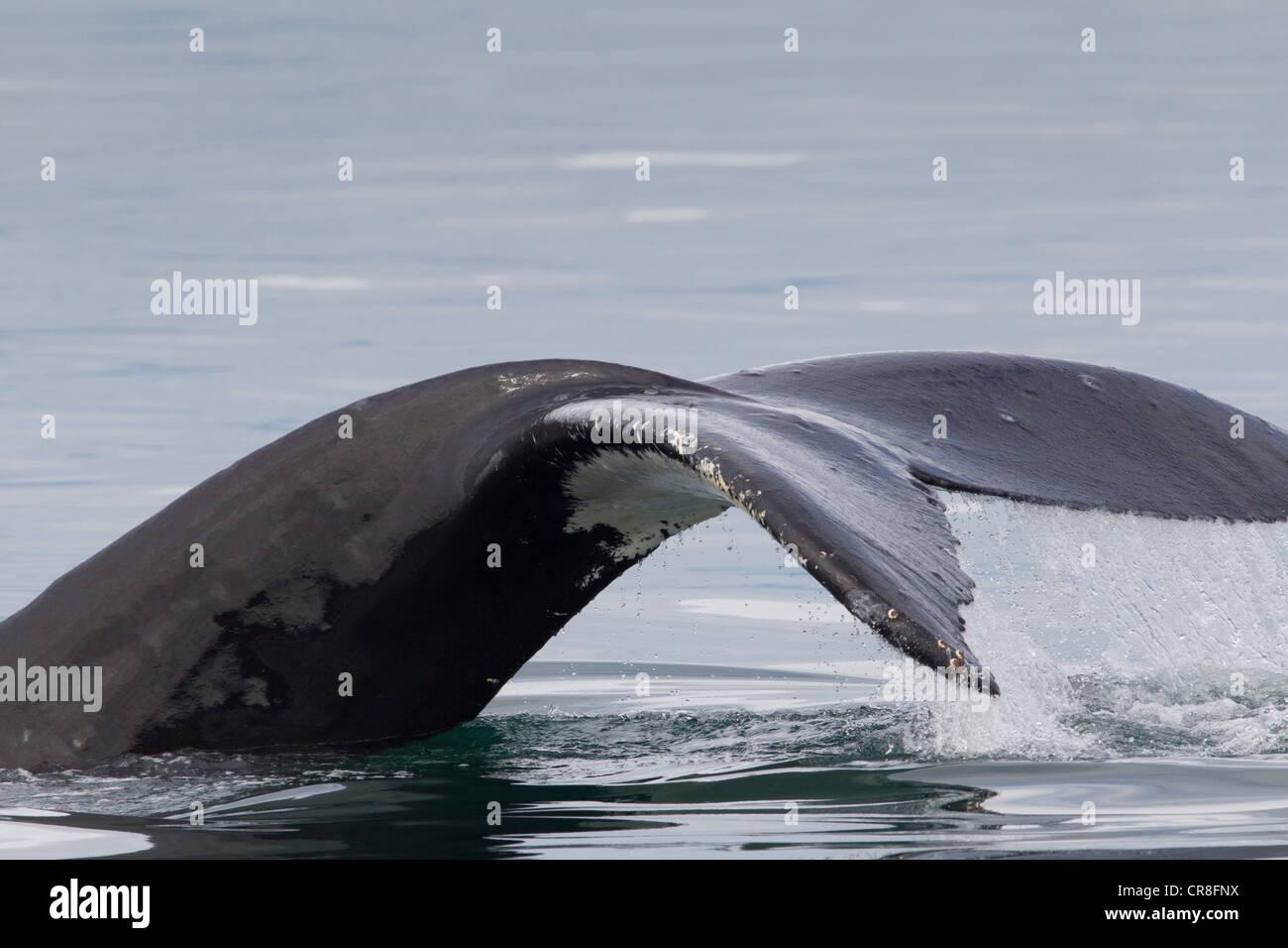 Stiel und das Endstück Buckelwale Stockbild