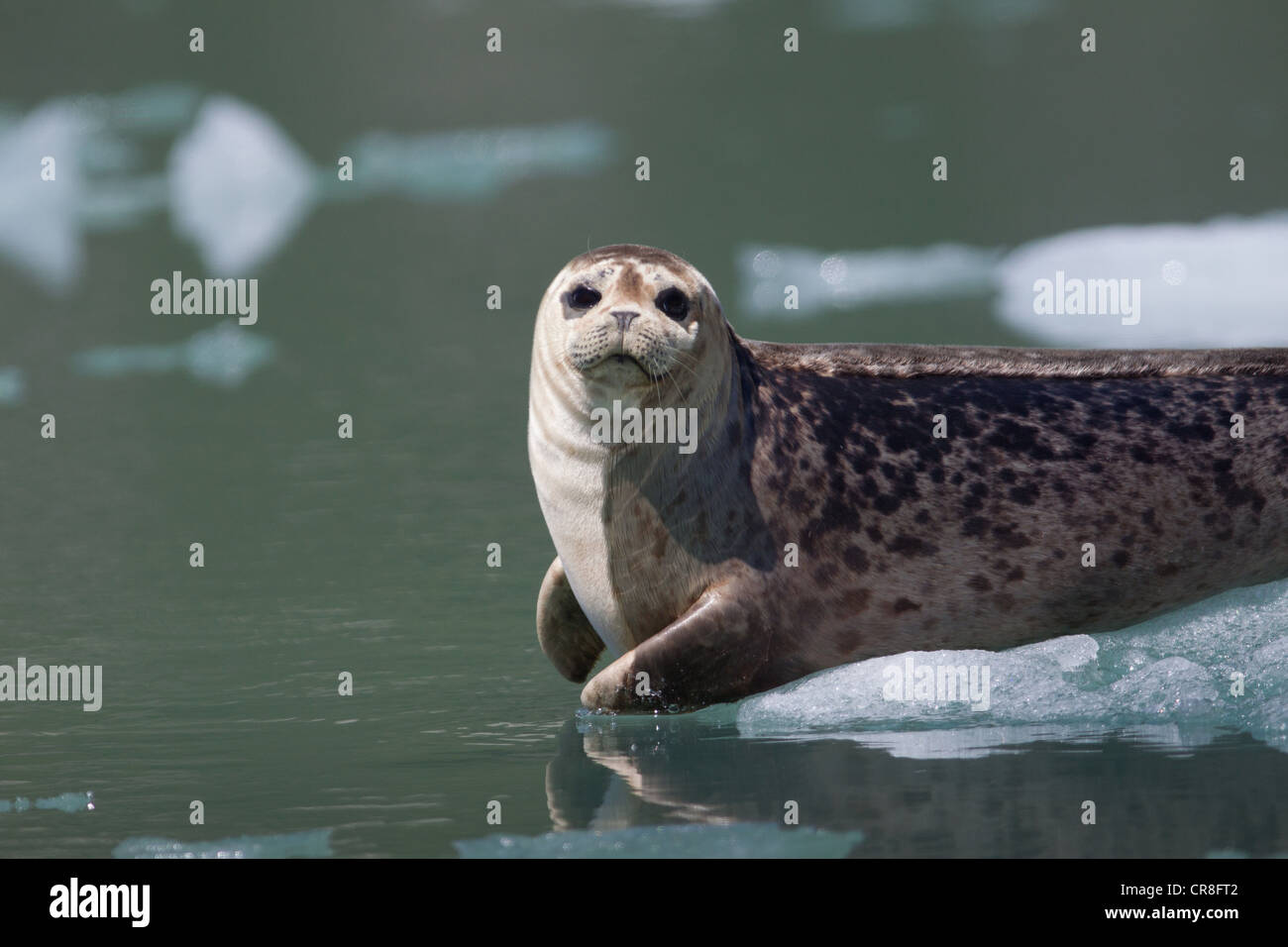 Wildtiere in der Nähe von Tracy Arm Gletscher Stockbild