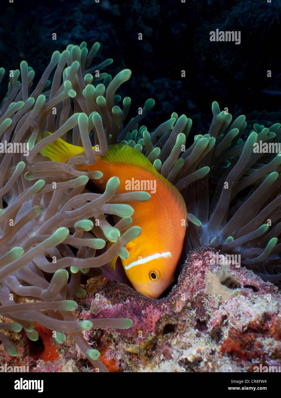 Anemonenfische Bewachung Eiern Stockbild