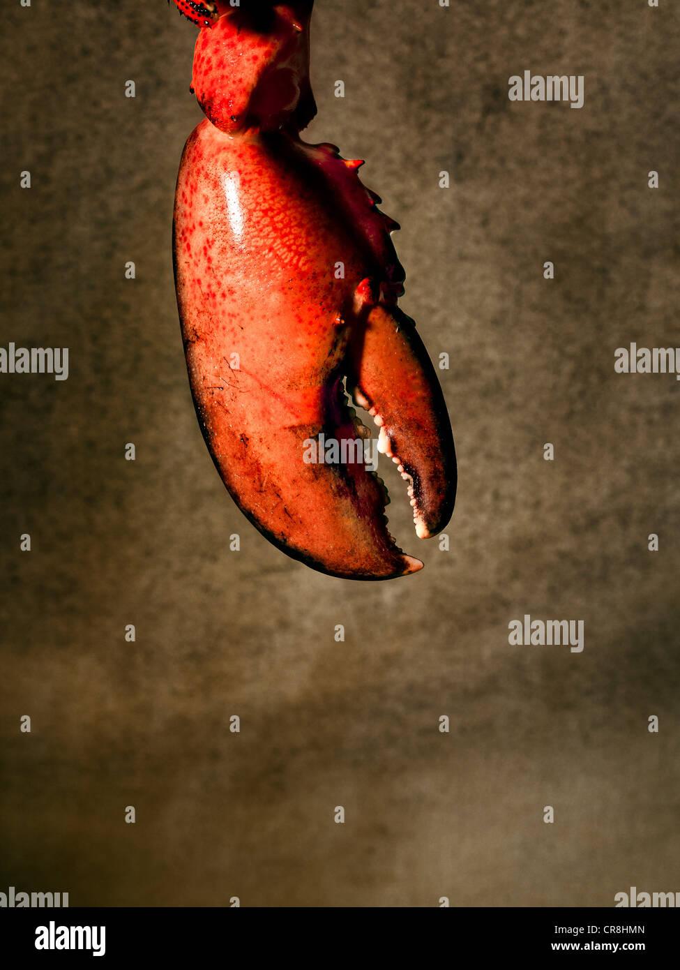 Hummergreifer Stockbild