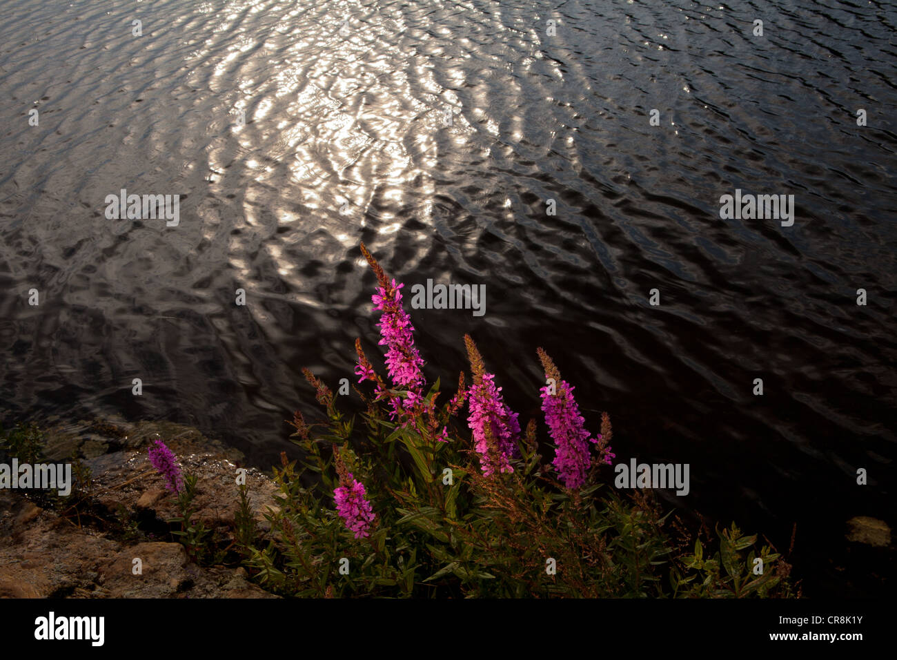 Blutweiderich, Lythrum saliaria, auf der Insel im See Brattholmen Råde Vansjø, Kommune, Østfold fylke, Stockbild