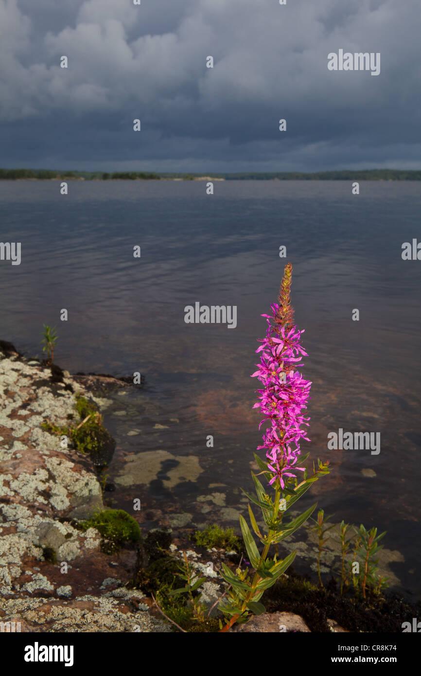 Blutweiderich Blume an Brattholmen im See Vansjø, råde Kommune, Østfold fylke, Norwegen. Stockbild