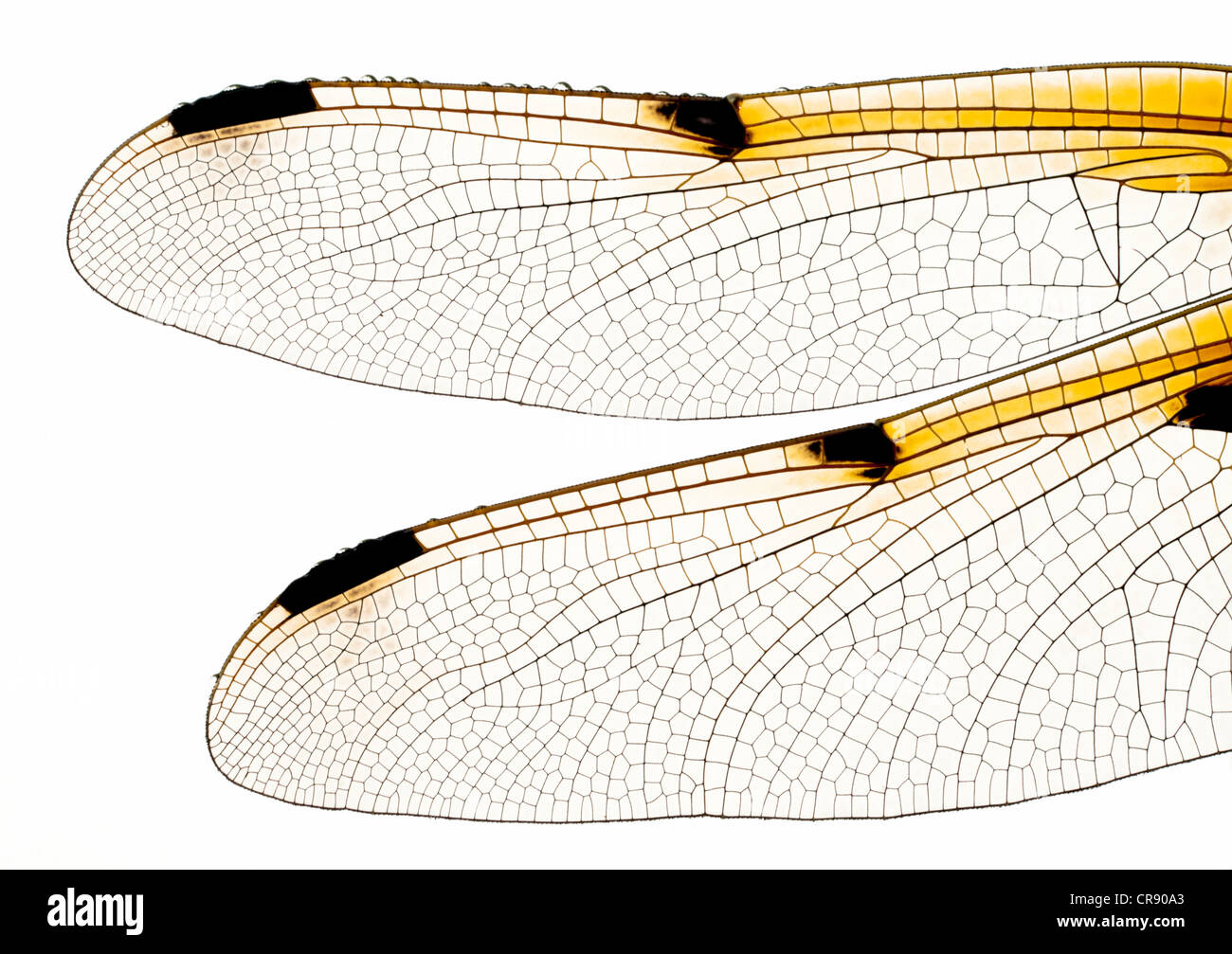 Libellenflügel Stockbild