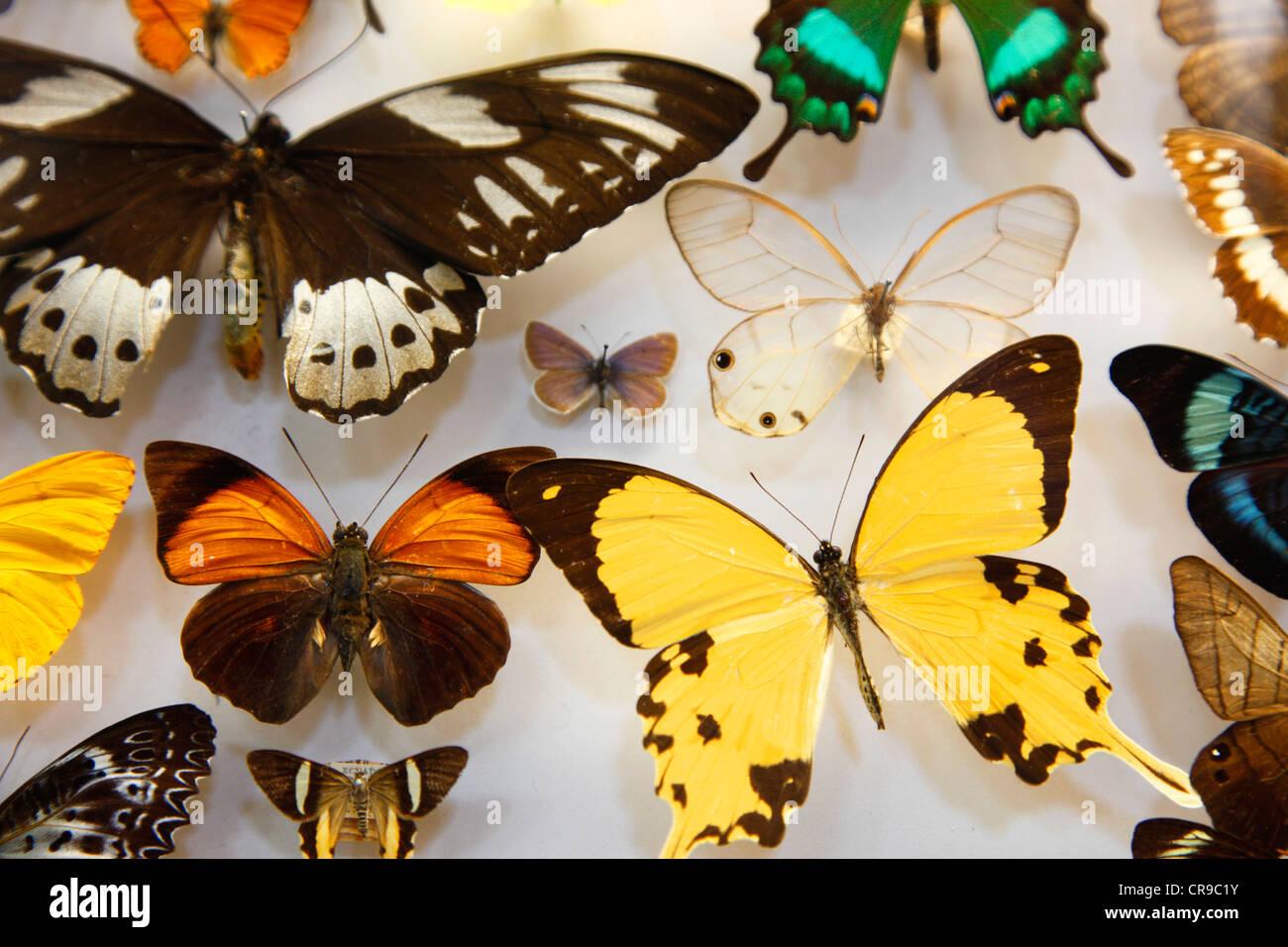 Sammlung von Insekten, Schmetterlinge, Schmetterlinge, Käfer aus ...