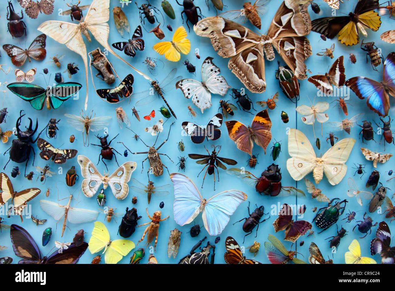 Sammlung von Insekten, Schmetterlinge, Schmetterlinge, Käfer aus rund um die Welt, die University Museum of Stockbild