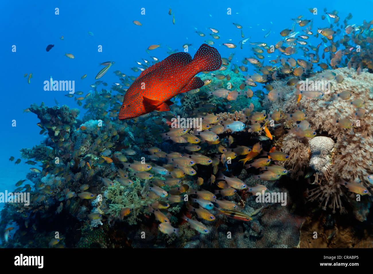 Vermillion Seebarsch (Cephalopholis Miniata) Jagd kleine Beute Fische am Korallenriff, Makadi Bay, Hurghada, Ägypten, Stockbild