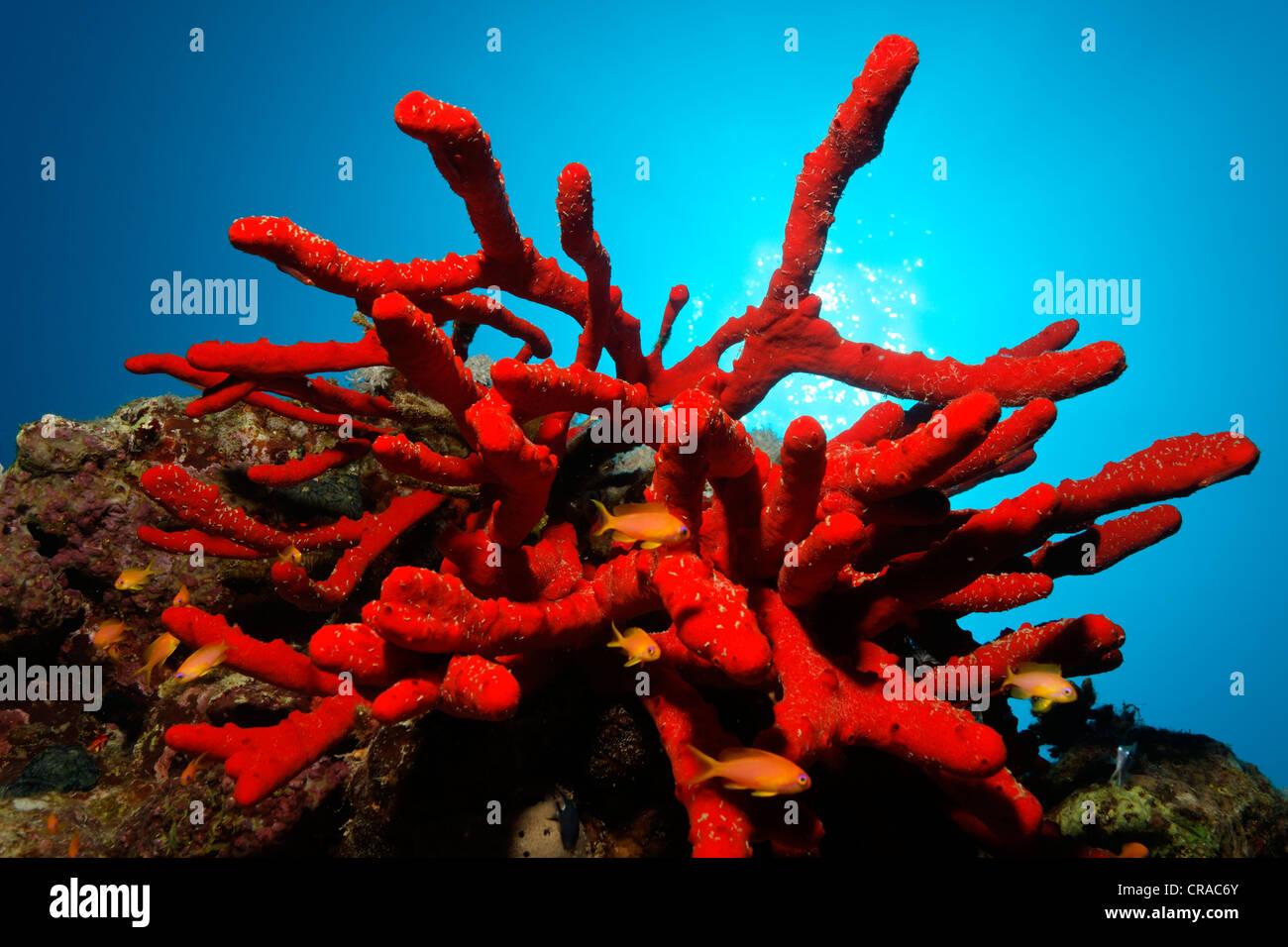 Giftige herrliche Feuer Schwamm (Latrunculia Magnifica) und Fairy Basselets (Anthias SP.), Hintergrundbeleuchtung, Stockbild