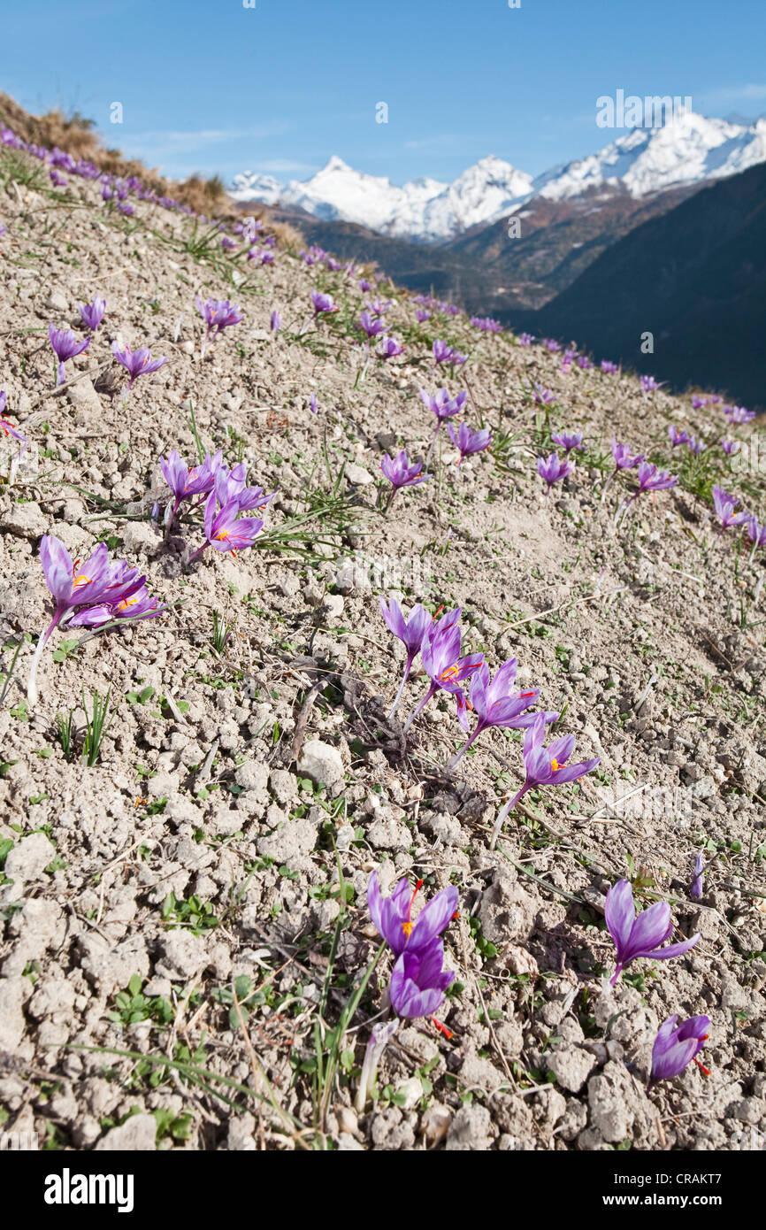 Blühenden Safran-Krokus (Crocus Sativus) auf den kleinen Safran Feldern der Gemeinde Munder in den Bergen des Stockbild