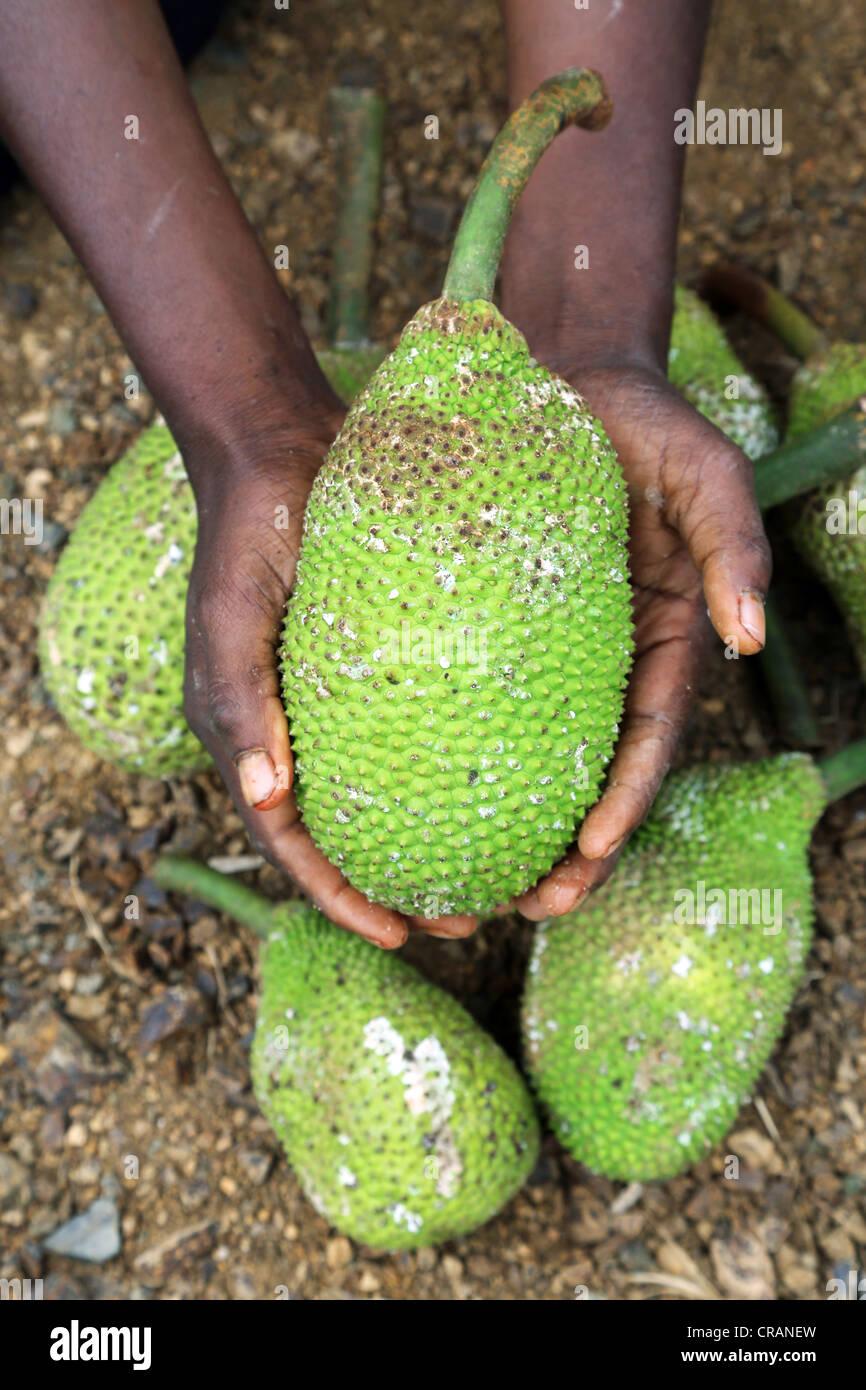 Hand, die Brotfrucht (Artocarpus Altilis), Western Province, Papua-Neu-Guinea Stockbild