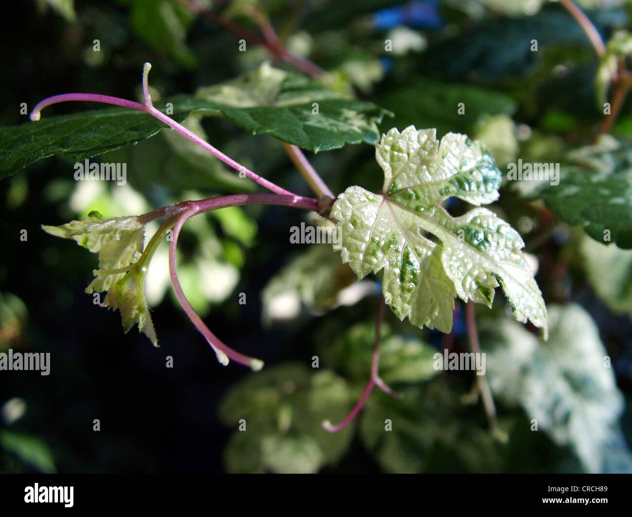 Porcelainberry (Ampelopsis Brevipedunculata), Blätter jung mit Ranke Stockbild