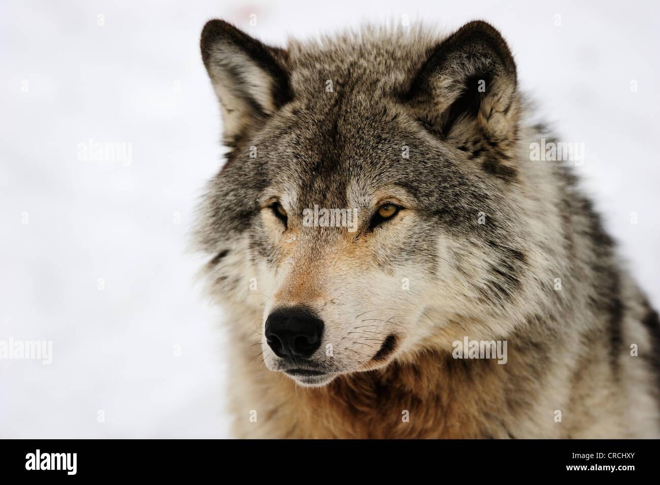 Wolf (Canis Lupus), Porträt, Kanada Stockbild