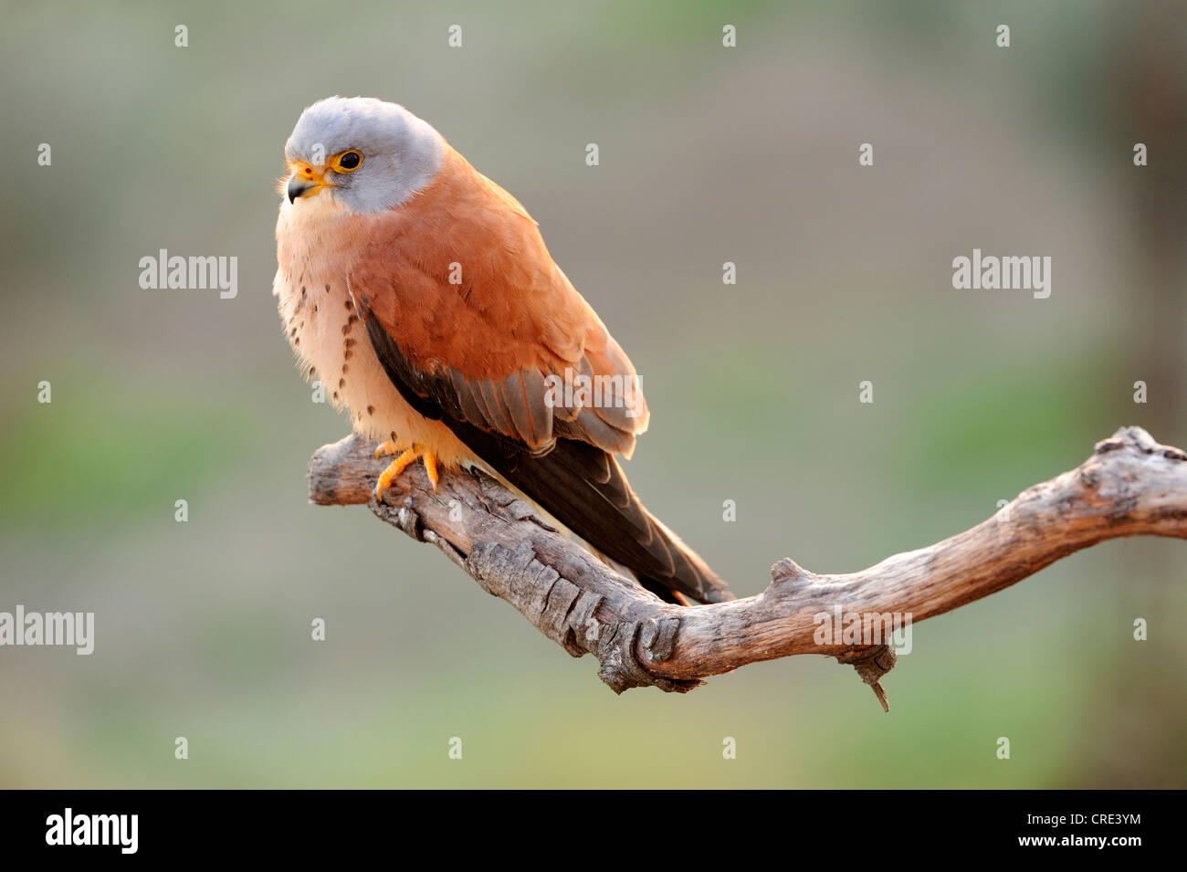 Rötelfalken (Falco Naumanni), Männlich, thront auf Zweig Stockbild