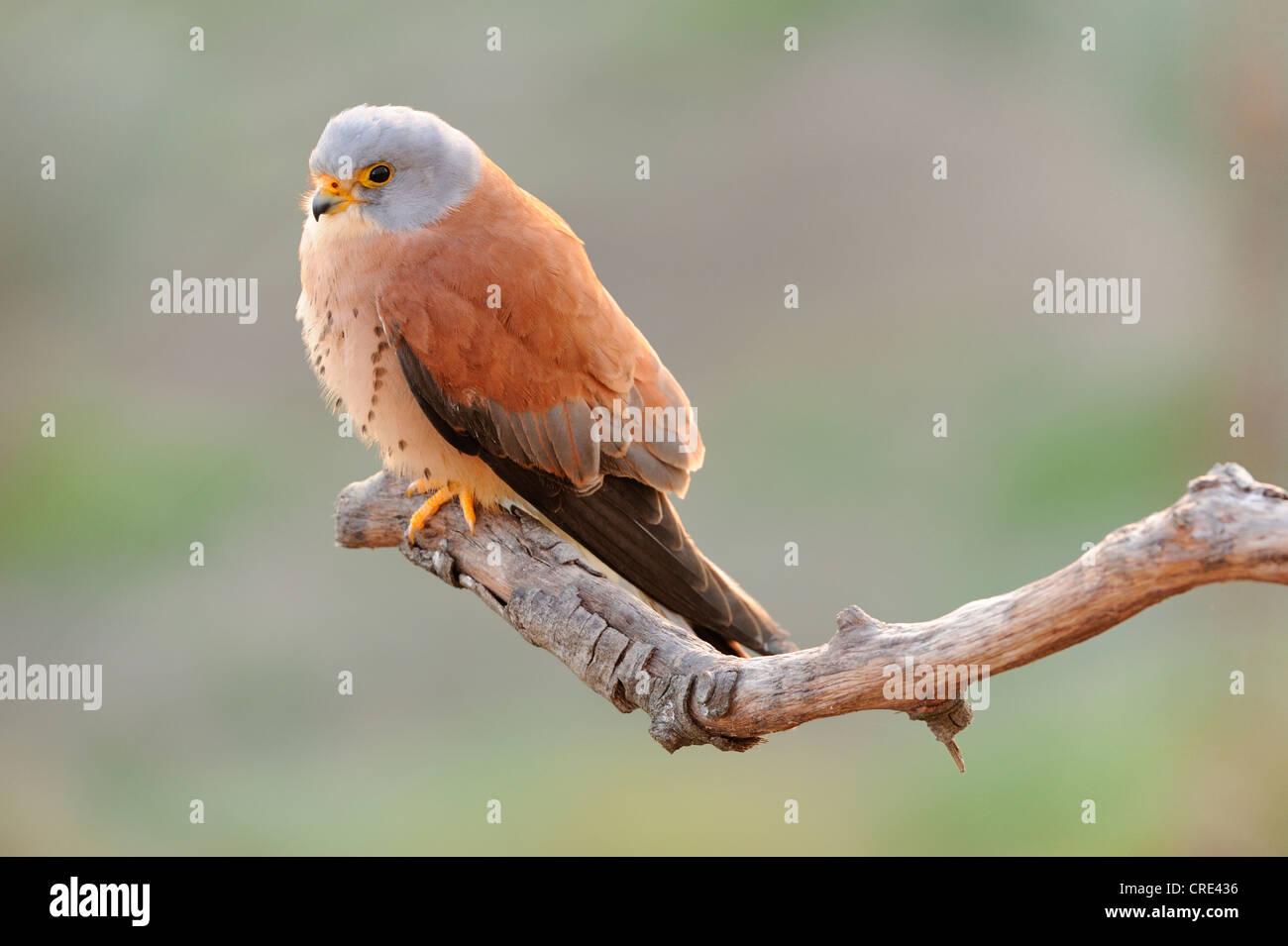 Rötelfalken (Falco Naumanni), männliche auf Ast Stockbild