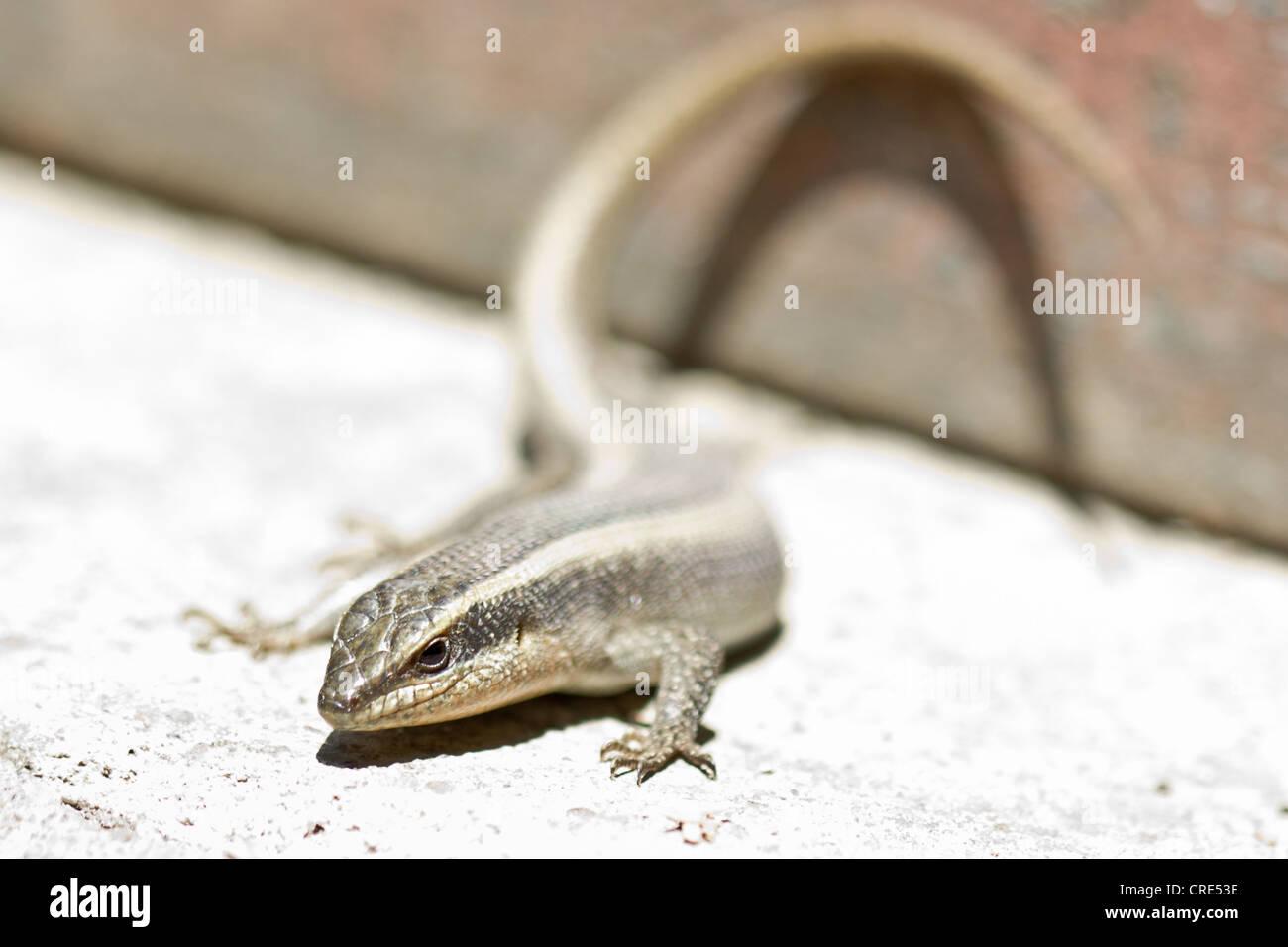 Closeup Aufnahme einer Eidechse auf einen heißen und trockenen Platz Stockfoto
