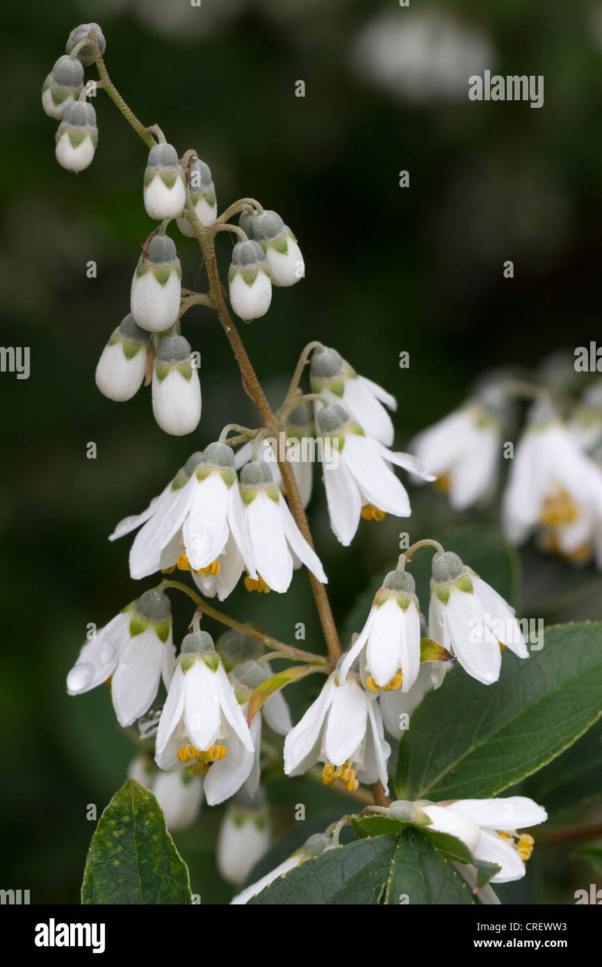 white flowering deutzia shrub stockfotos white flowering deutzia shrub bilder alamy. Black Bedroom Furniture Sets. Home Design Ideas