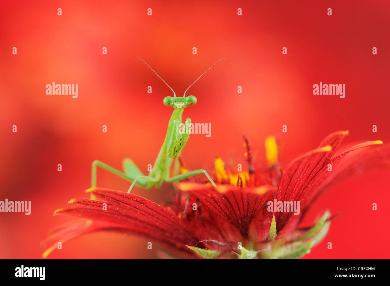 Gottesanbeterin (Mantis SP.), gehockt junge indische Decke/Feuerrad (Gaillardia Pulchella), Texas, Lake Corpus Christi Stockbild