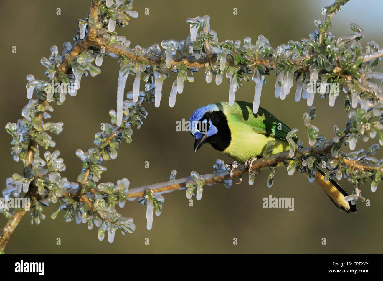 Grün Jay (Cyanocorax Yncas), Erwachsene auf Eis bedeckt Branch, Dinero, Lake Corpus Christi, Süden von Stockbild