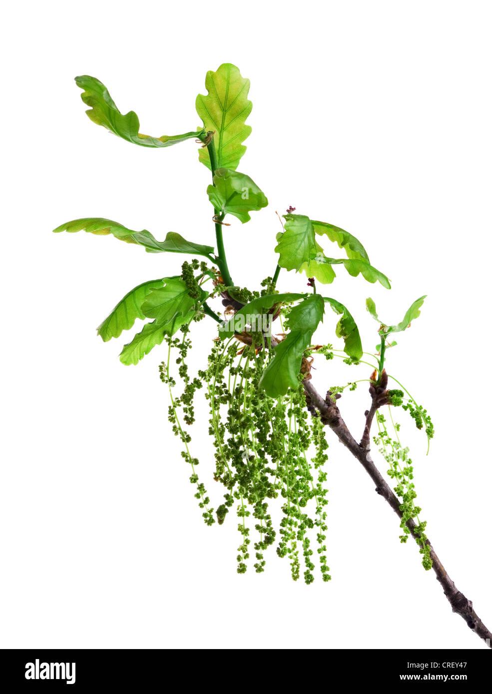 Eiche blühender Zweig mit Blättern und Kätzchen isoliert auf weiss Stockbild