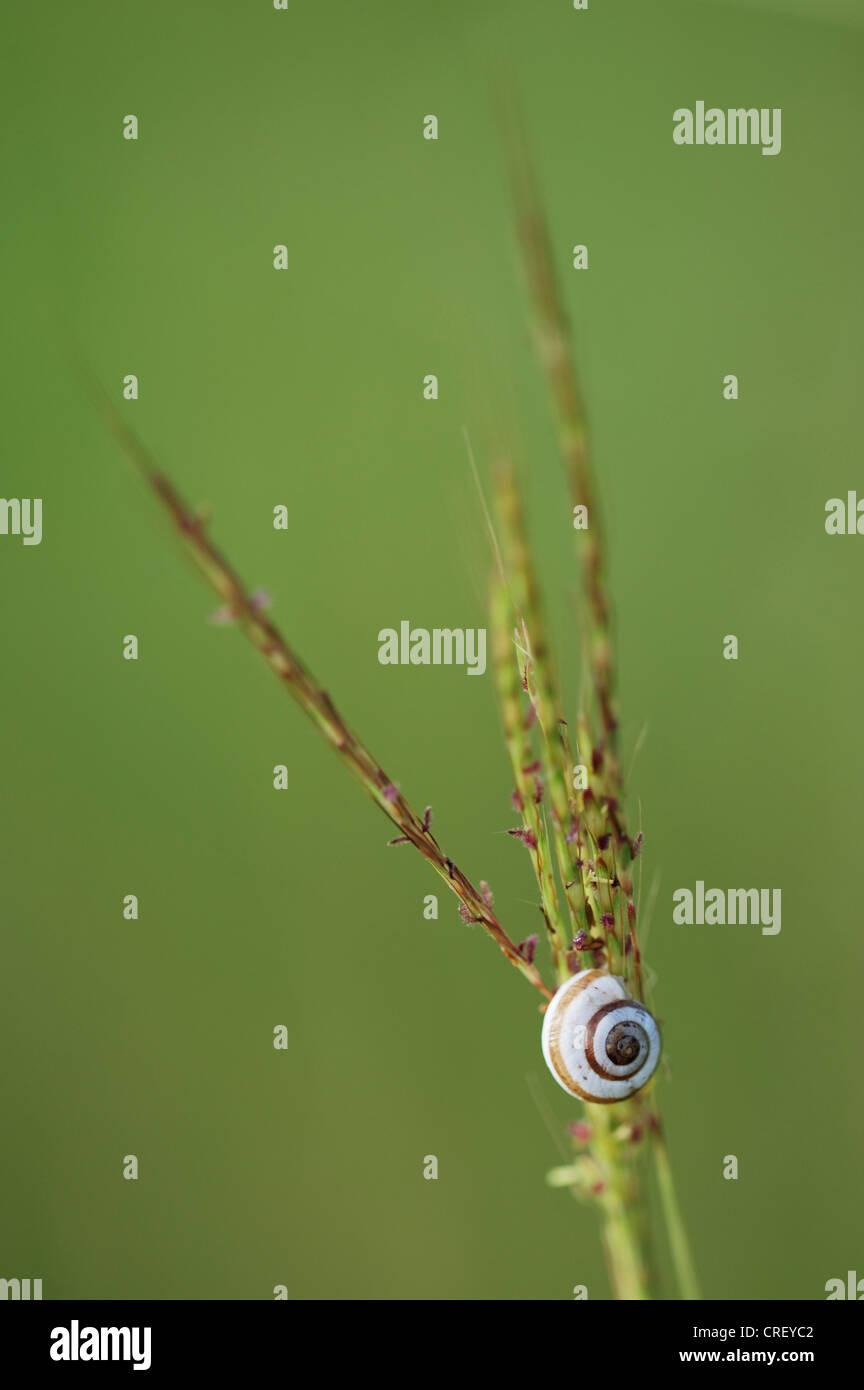 Schlossen sich Scrubsnail (Praticolella Berlandieriana), ruht auf Grashalm, Dinero, Lake Corpus Christi, Süden von Texas, USA Stockfoto