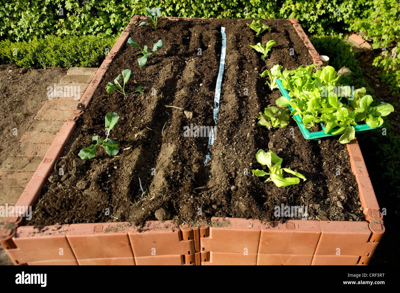 Hochbeet Mit Jungen Salat Pflanzen Stockfoto Bild 48890124 Alamy