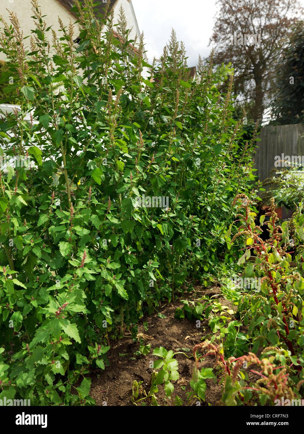 Spinat Baum Wachst In Einem Hochbeet Stockfoto Bild 48893183 Alamy