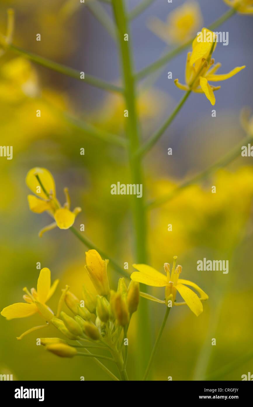 Verschraubung blühenden Brassica Pflanze mit gelben Blüten. Stockfoto