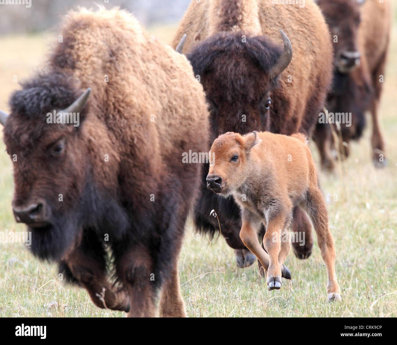 Amerikanische Bisons (Bison Bison) Kühe und neugeborenes Kalb in das Lamar  Valley Yellowstone- 08aa5a6865