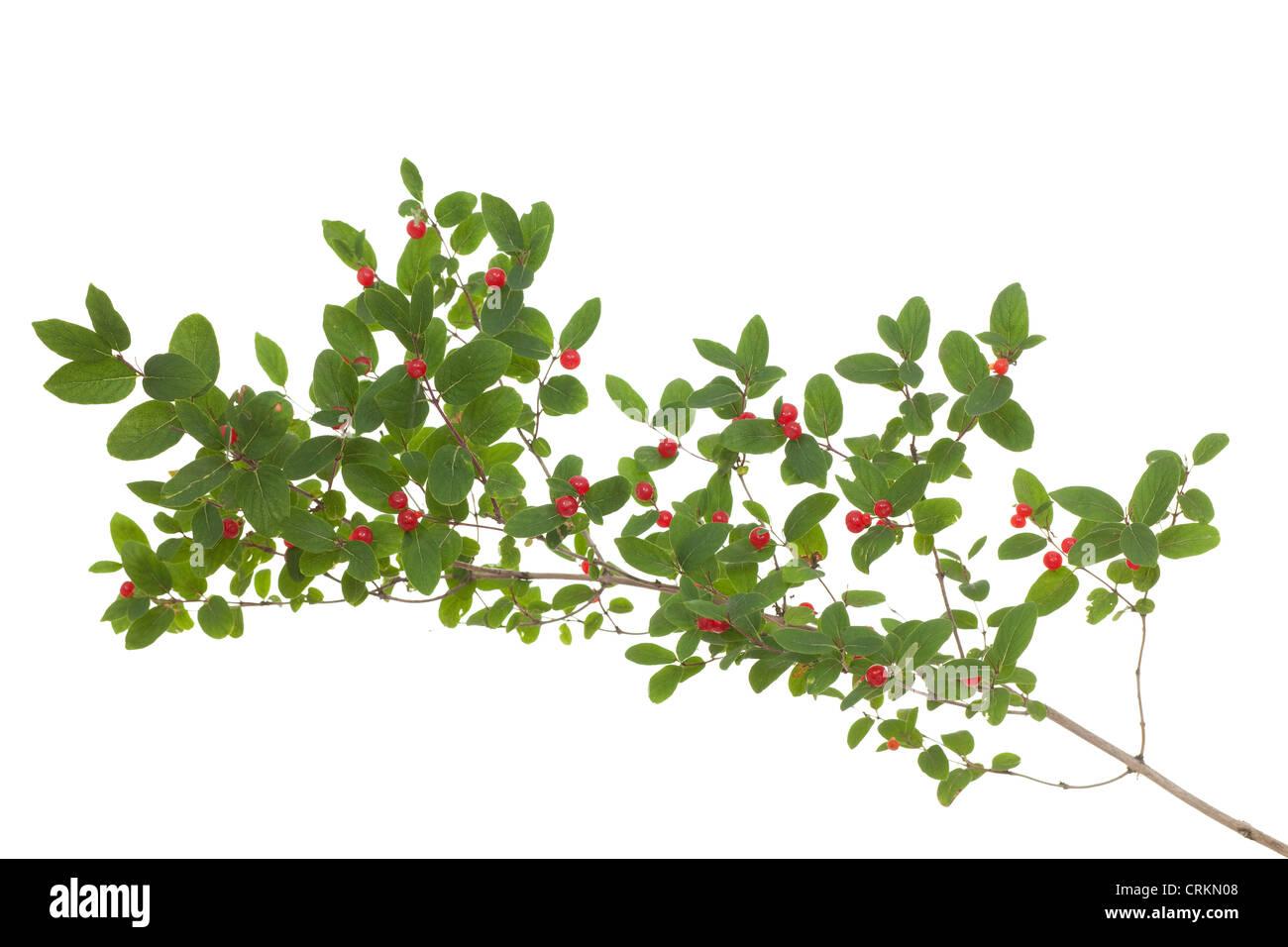 Filiale Geißblatt mit roten Früchten auf weiß Stockbild