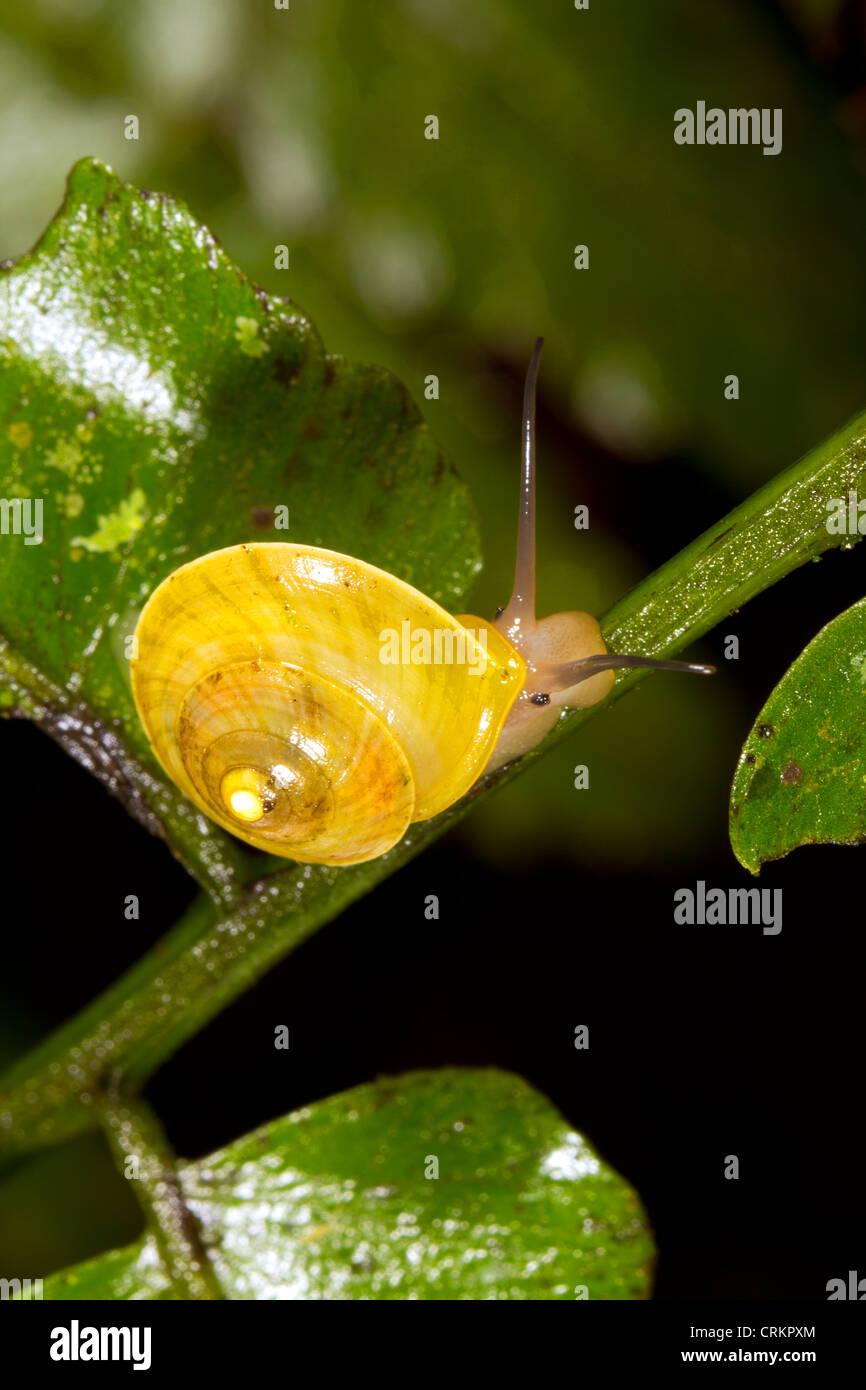 Schnecke im Regenwald Unterwuchs, Ecuador Stockbild