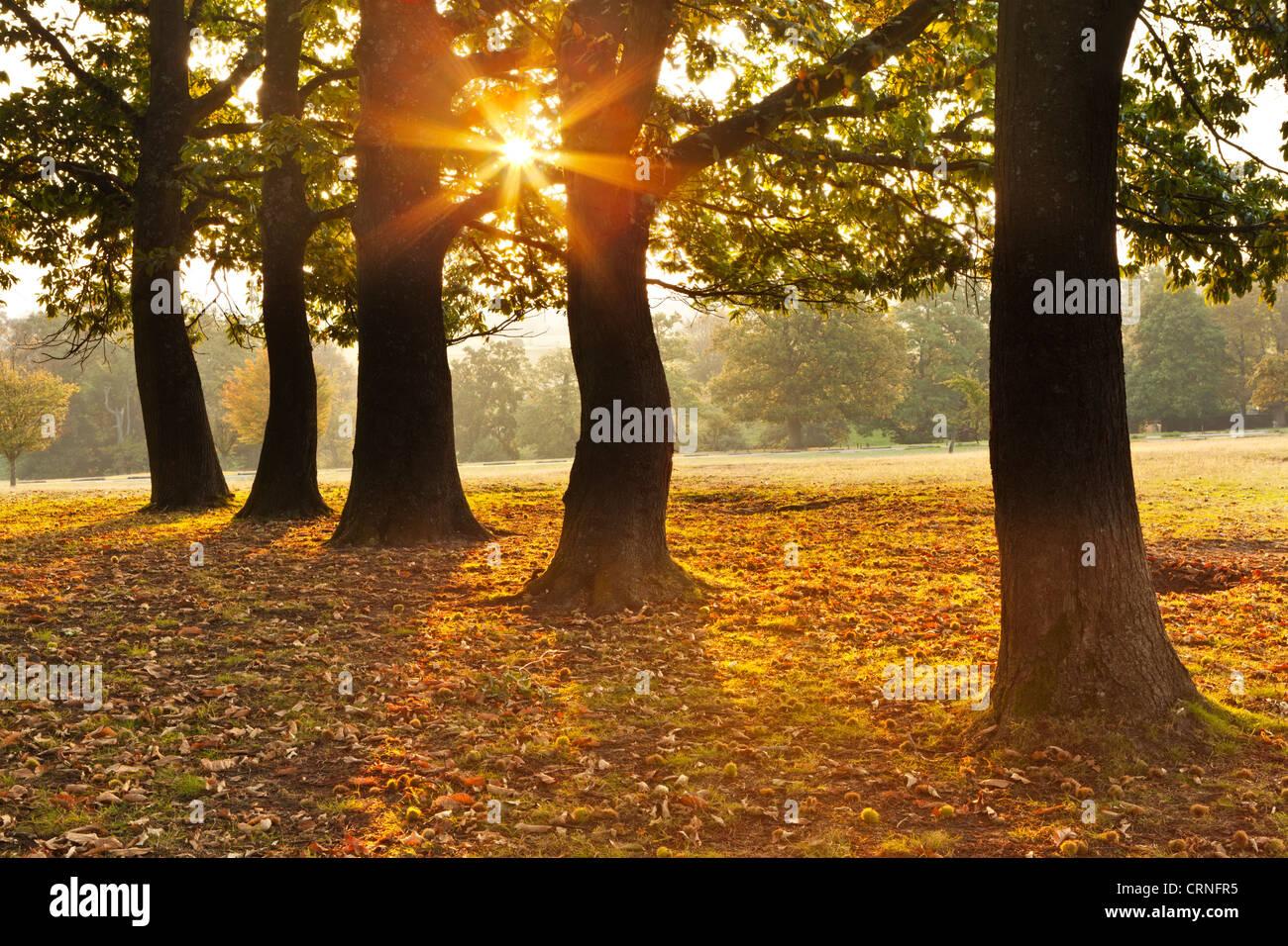 Herbstlicher Sonnenaufgang durch eine Reihe von Bäumen in Knole Park angesehen. Stockbild
