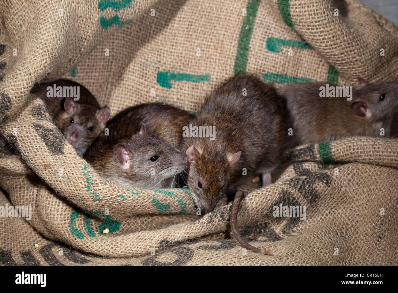 Braune Ratten (Rattus norvegicus). Unter Müsli hessische Essen Taschen. Stockbild