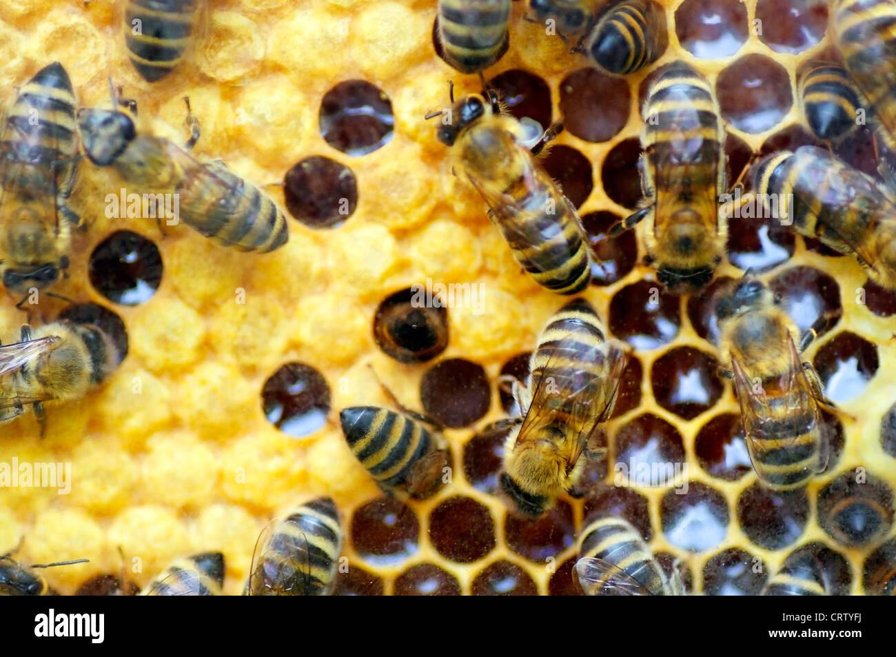 Bienen Waben mit Honig in ihrem Bienenstock zu füllen Stockbild